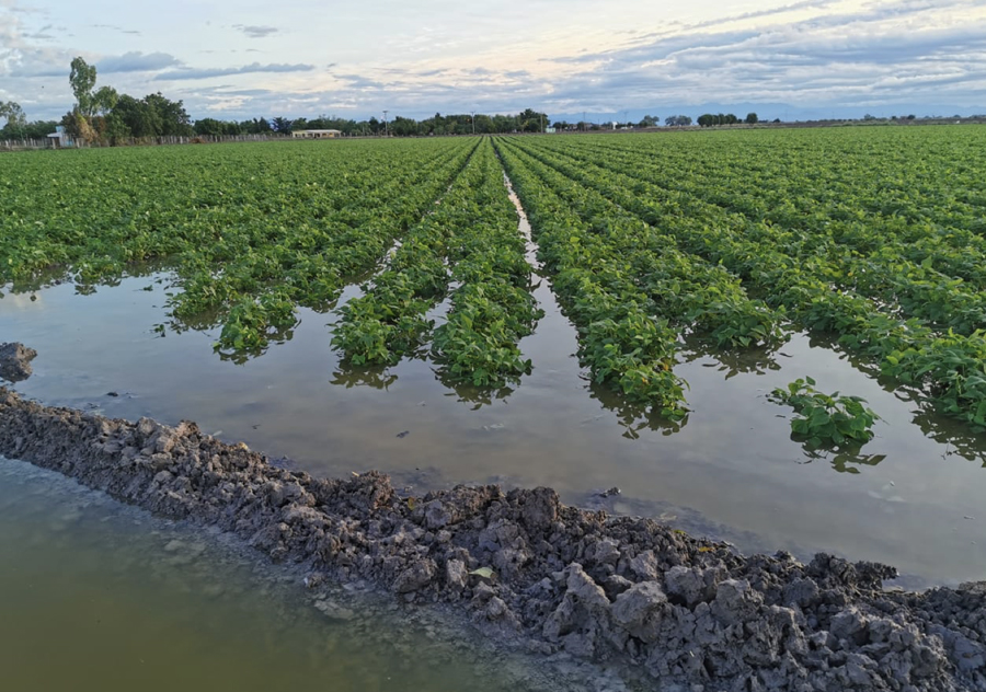 Torrential Rains Put Mexico's Fall-Winter Pulse Crops at Risk