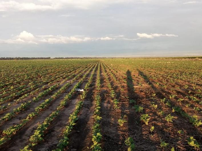 Argentina's 2020 Dry Bean Planting Season