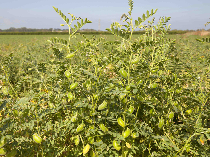 Global Garbanzo's Chickpea Update: India Rabi Sowing