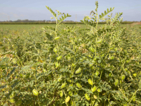 Weekly Update on India's Chickpea Market